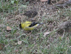 There were lots of these beautiful birds - they were quick!