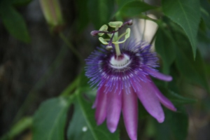 My Passion Vine - I love this flower!