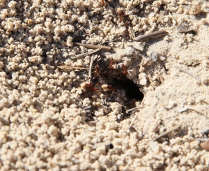 I was fascinated watching these ants build their bed.  They go down in the hole and then each come up with a grain of sand on their back - I have more photos of these industrious little home builders!