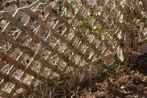 The cucumber bed - no before photo - but these vines were everywhere!