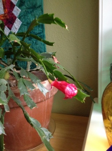 As the last bloom fades from my moms Christmas Cactus (yes it has been blooming since before Christmas).....