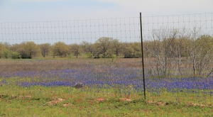 This field of bluebonnets is just the other side of the subdivision - I did not realize bluebonnets smelled so yummy!