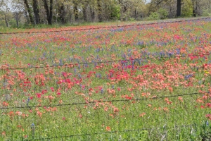 Blue Bonnets, Indian Paintbrush and those vibrant red flowers!