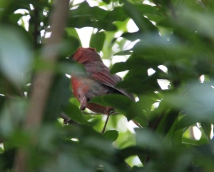 Nothing to do with quilting - but these little red birds love to sing outside my quilt room windows - they are very camera shy though!